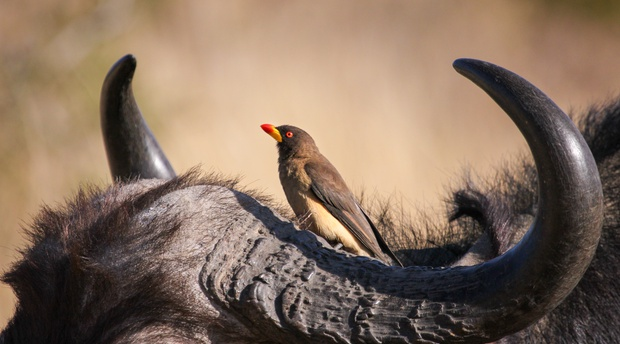 Yellow-billed oxpecker on buffalo
