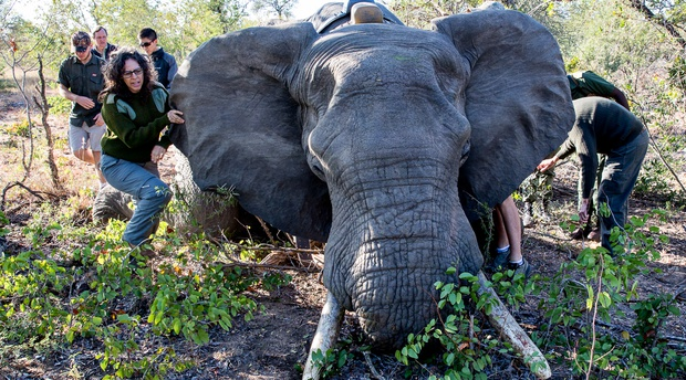elephant collaring operation south africa