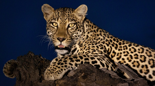 Leopard on safari in South Africa